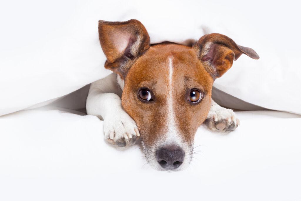 Hund unter einer weißen Decke schaut nach gesundem Hundefutter